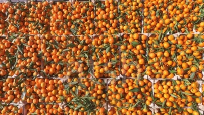 Albania Produces Record Amount of Tangerines in 2017
