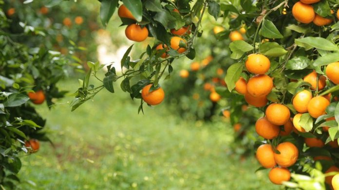 "Citrus exports ""made in Albania"" leads with EU countries"