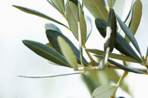 Olive Oil production exceeding 20 thousand tons